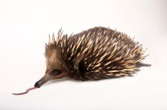 Monotreme alert! It's an echidna! Photograph by Joel Sartore, National Geographic Photo Ark