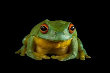 The southern orange-eyed tree frog is one of Australia's indigenous amphibians. Photograph by Joel Sartore, National Geographic Photo Ark