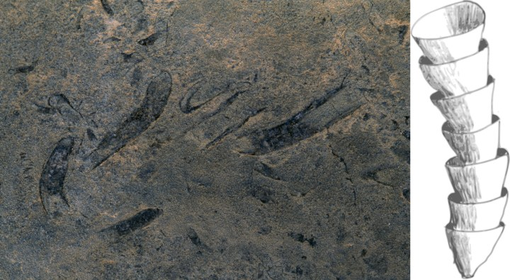 """Cloudina is one of the earliest skeletal animals. Cloudina, seen as a trace fossil on the left, had a characteristic """"stacked cup"""" exoskeleton that presumably protected its soft insides from predators. (Some Cloudina fossils have holes that biologists think were made by predators attacking the animal by boring through its skeleton.) Photograph by O. Louis Mazzatenta, National Geographic Illustration by Graeme Bartlett, courtesy Wikimedia. CC-BY-SA-3.0"""