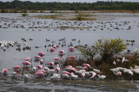 Thousands of ibises, roseate spoonbills, and egrets disappeared from Seahorse Key, Florda. (These birds are at nearby Merritt Island National Wildlife Refuge. Photograph by Sudhir Viswarajan, courtesy Wikimedia. CC-BY-SA-3.