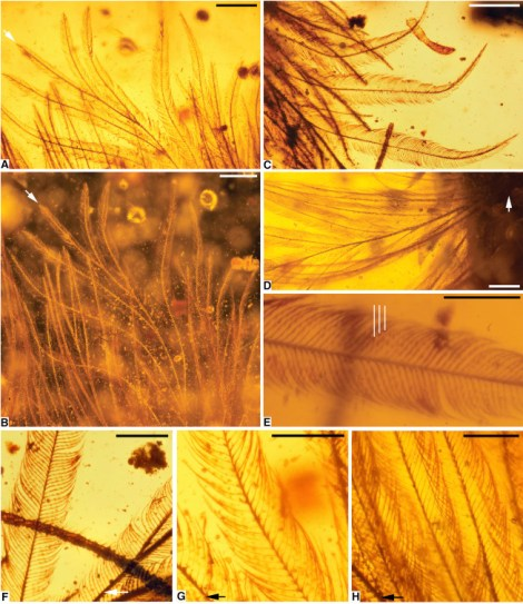 "The open, flexible structure of the pretty dinosaur feathers is more similar to modern ornamental feathers than to flight feathers. In particular, there are structural similarities to the feathers of some Anseriformes—a modern order of birds that includes ducks and geese. Weird. ""A Feathered Dinosaur Tail with Primitive Plumage Trapped in Mid-Cretaceous Amber,"" Lida Xing et. al Current BiologyDOI: http://dx.doi.org/10.1016/j.cub.2016.10.008 © 2016 Elsevier Ltd."