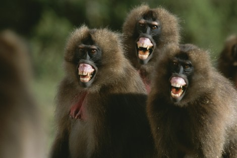 Yes, these Ethiopian geladas are laughing at you. Or threatening you. Photograph by Michael Nichols, National Geographic