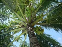 coconut-322424_1280