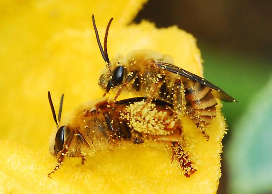 1. Los testículos de las abejas explotan y se quedan dentro de la hembra