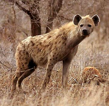 6. Las hienas hembras tienen un falso pene.