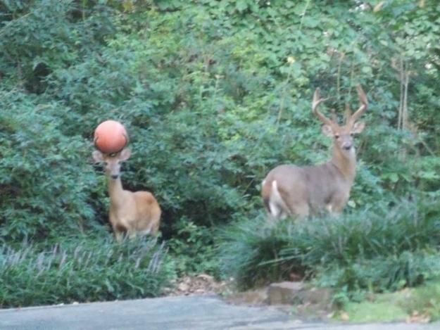 3. Un chico se encontró con un ciervo y una pelota de basket atorada en su cabeza.