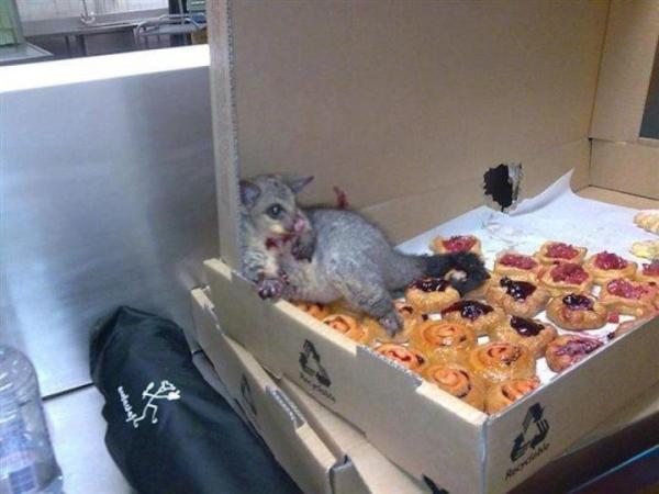 5. Una zarigüeya se metió en una pastelería de Australia y no pudo escaparse porque... comió demasiado.