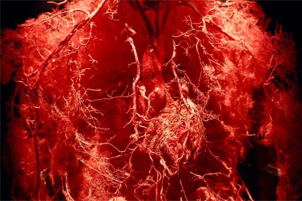 14. ¿Te da impresión la sangre? El cuerpo humano tiene 96,5 mil kilómetros de vasos sanguíneos.