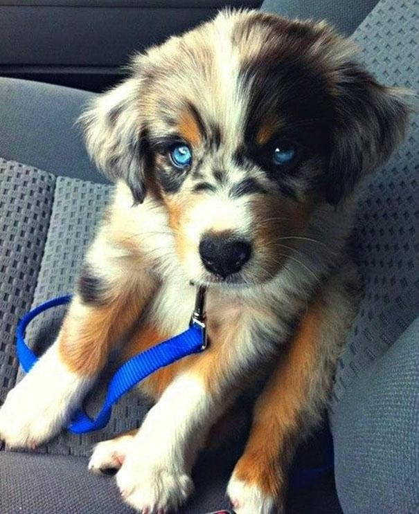 1. Husky + Golden Retriever = Husky Retriever