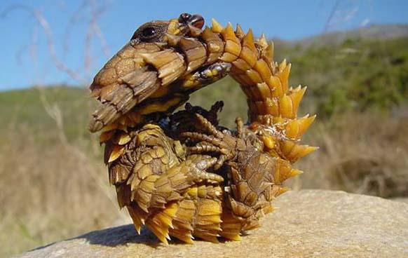 3. Diablo espinoso: es una pequeña lagartija que habita en el desierto Australiano