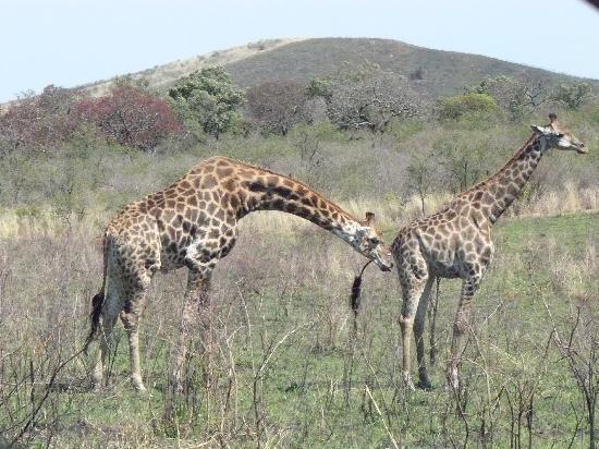 8. Las jirafas macho se beben la orina de las hembras para saber si está en celo.