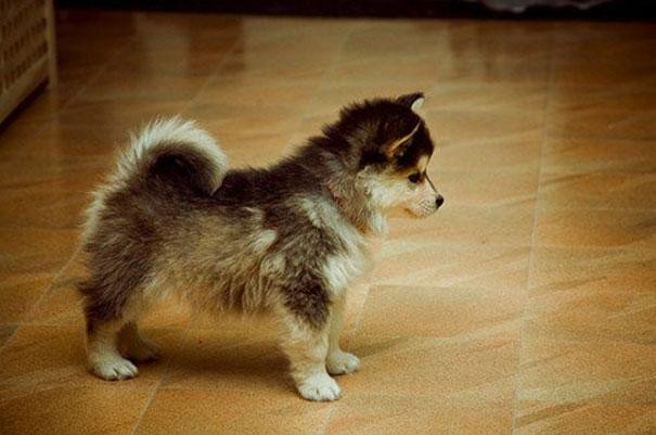 14. Pomerania + Husky = Pomsky