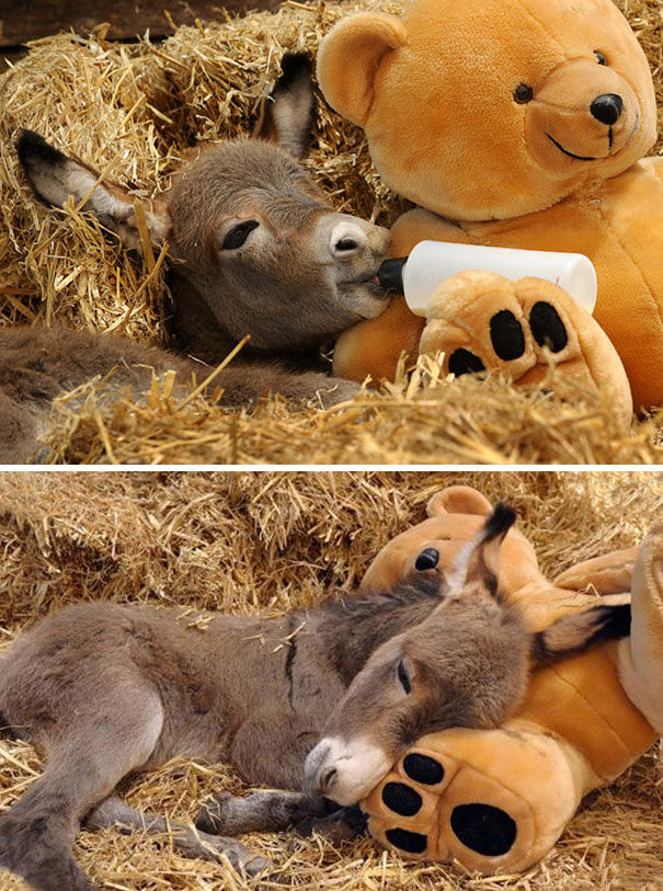 Sparky The Week-Old Miniature Donkey At Ashington Park Stud In Melbourne, Australia, Has A Surrogate Mum And Companion In The Form Of A Teddy Bear Called Ted. Sparky Was Rejected By His Mother After A Difficult Birth And Now Relies On Carer Sarah-Jane Lov