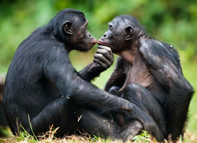 Resultado de imagen para bonobos