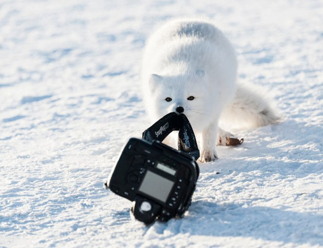 Never, Ever, Ever, Leave Your Camera Unattended (And When An Arctic Fox Is Lurking)... As Specified In Your Insurance Claims Form, Hudson Bay, Canada By Michou Von Beschwitz