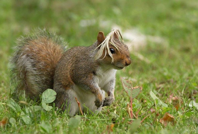 Dressed As A Bird, This Squirrel Could Finally Blend In To The Pigeon Community Unnoticed... Arundel, England By Maria Kula