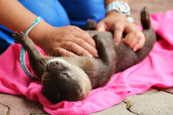 Otter Gets A Luxurious Belly Rub