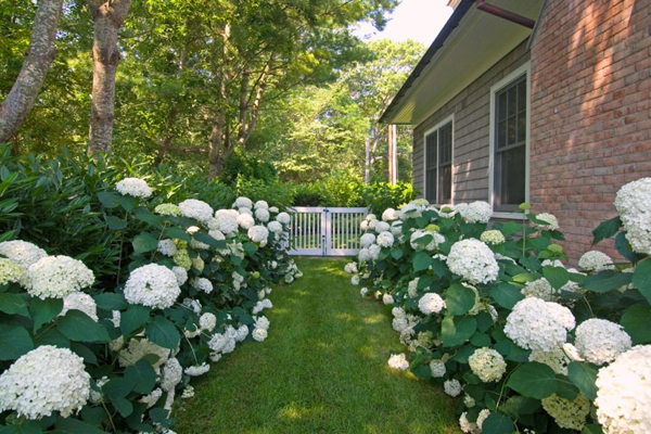 Hydrangea: all you should know about it