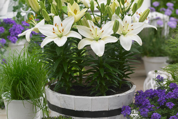 how to plant a lily flower garden