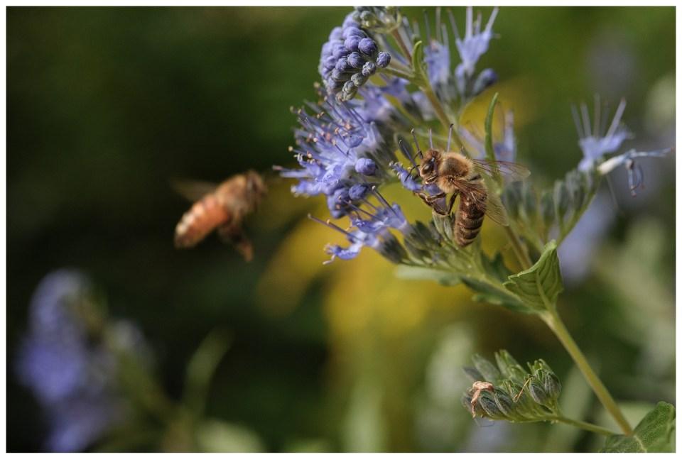 summer vacation denver colorado botanic gardens bumble bee pollen flower