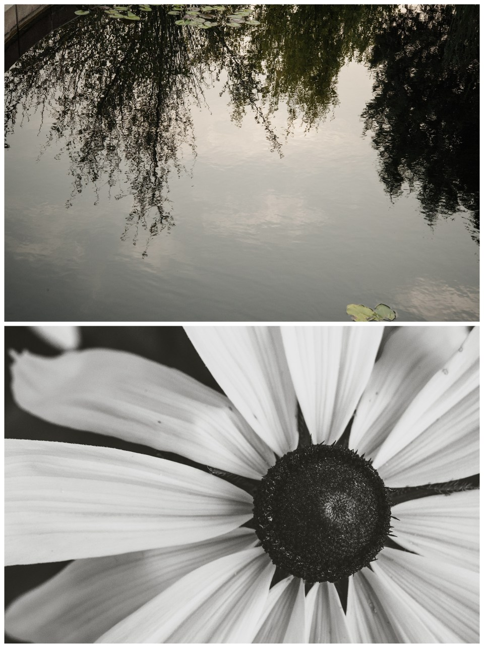 summer vacation denver colorado botanic gardens black and white flower reflection on pond