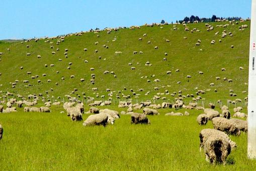 Ovejas neozelandesas