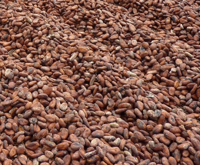 Cocoa beans being dried