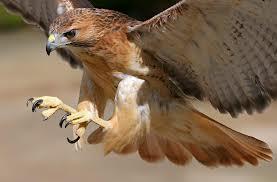 hawk looking all badass, badass, badass hawk, hawk