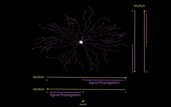 starburst_propagation_eyewire, neurons, starburst, neurons