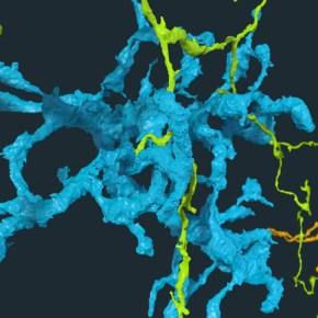 starburst, bipolar cell, eyewire, neurons, Nature, citizen science, neuroscience, brain, commectome, MIT, Seung Lab, Alex Norton, neurons, synapse