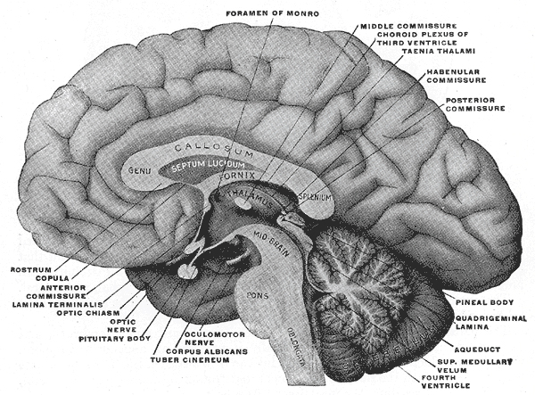 Diagram of the brain from Gray's Anatomy