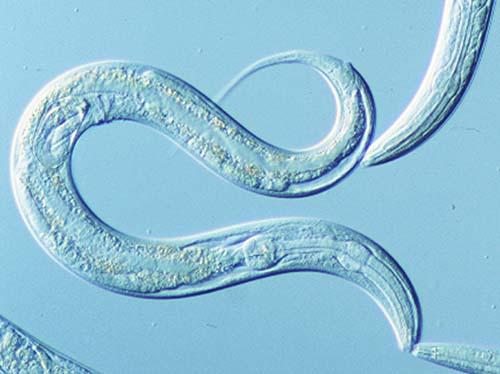 Image result for caenorhabditis elegans