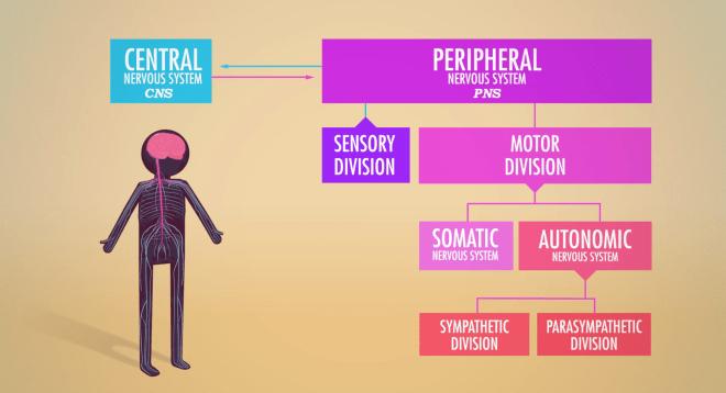 https://en.wikipedia.org/wiki/Autonomic_nervous_system, crash course, nervous system