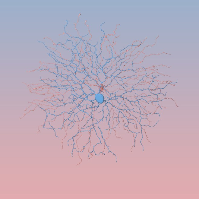 Cells found in the ON-layer of the retina. Ganglions shown in rose quartz. Bipolar branches are shown in serentity blue at center while hints of amacrine arborizations show through.