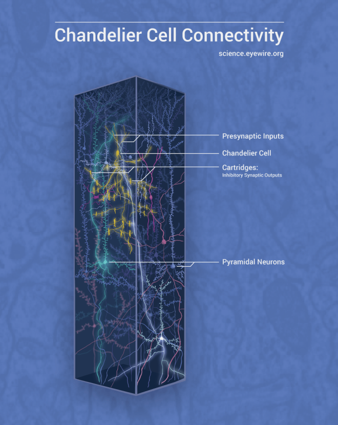 cortex, cortical column, volume, brain, neuroscience, chandelier cell, connectome, connectomics, pyramidal cells, inhibitory neuron, axon hillock, neural circuit, daniela gamba, chandelier cell, chandelier cell connectivity, circuit diagram