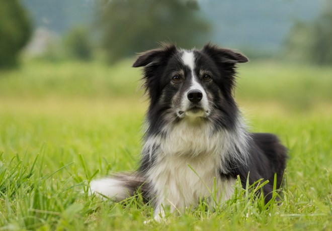 border collie, dog, grass, summer