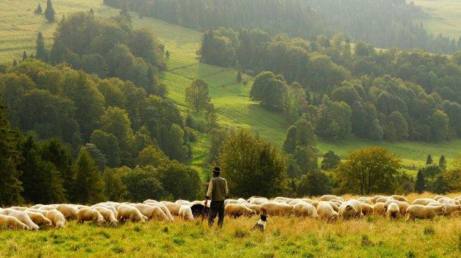 dog, herding, shepherd, sheep