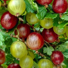 Gooseberries by JParkers UK