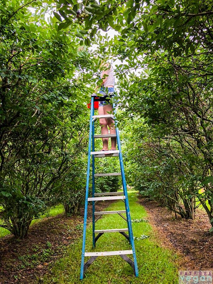 Blueberry Picking on Ladder in Mississippi