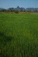 Reisfelder in Thakhek