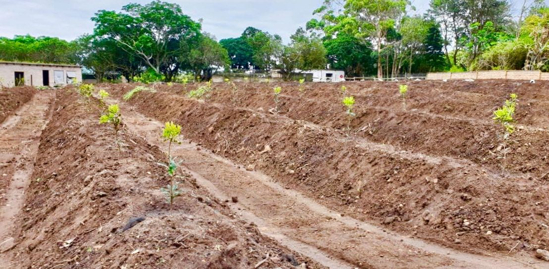 Macadamia consultant uses fieldmargin to make precision farming recommendations from drone imagery