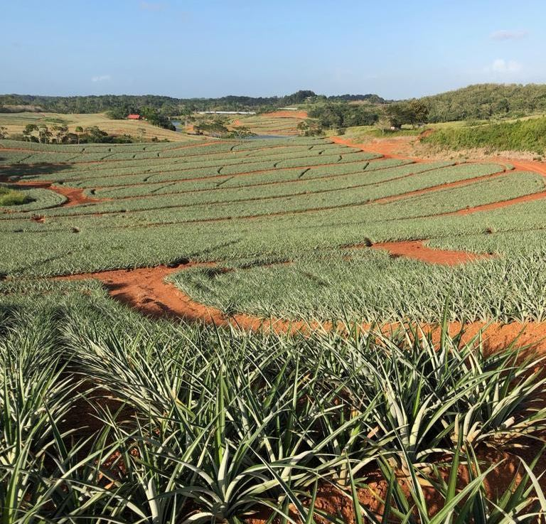 Attention to detail is key for high quality and yields in pineapples