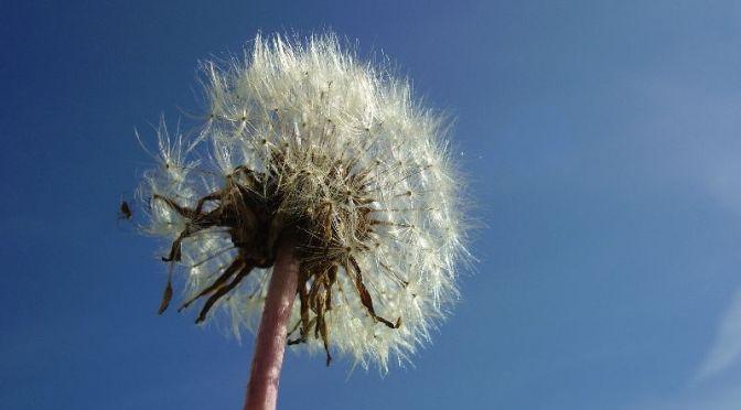 Pusteblume, Löwenzahn Blume