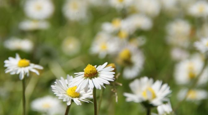 Erstaunliche Natur Blume Kamille