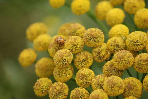 Rainfarn Blume