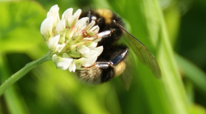 Die Hummel – Insekt der Superlative