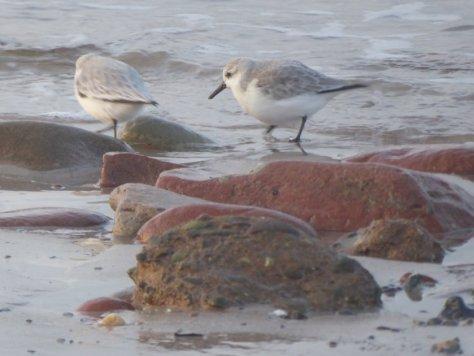 Sanderling Vogel Helgoland