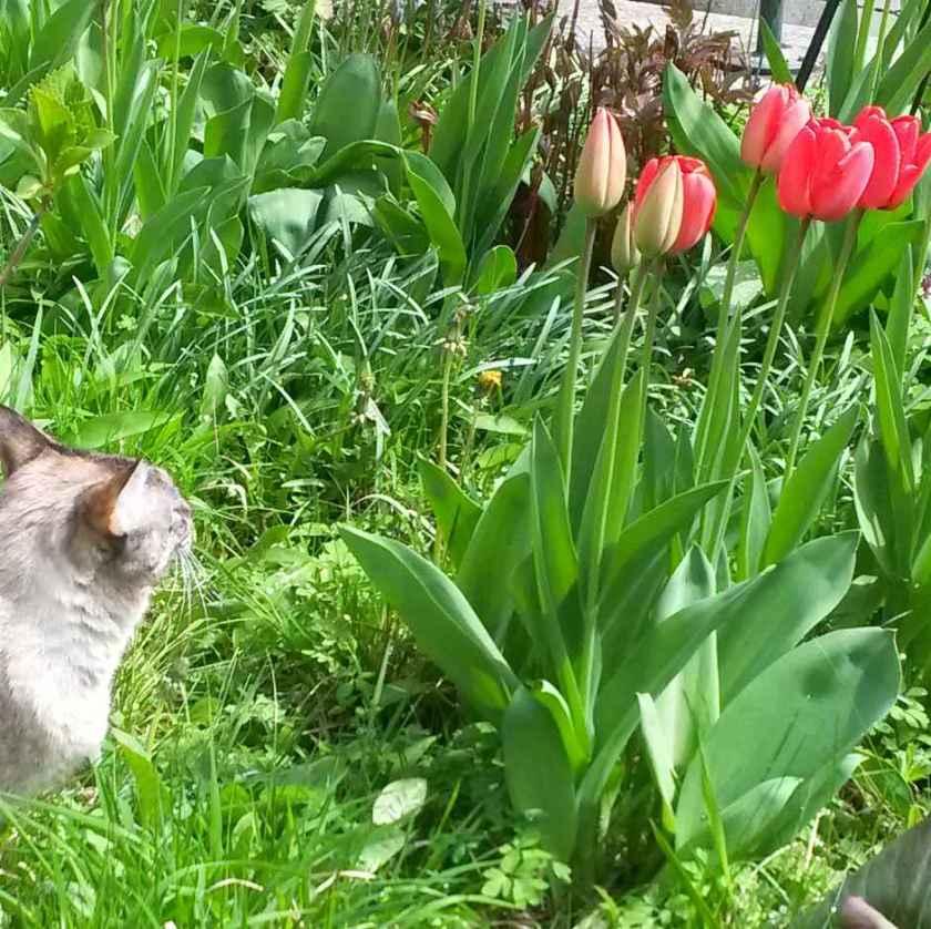 Katze Mila bewundert die Tulpen