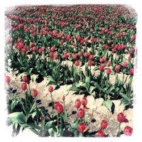 Tulip Town, Mt. Vernon