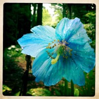 The Blue Poppies of Weyerhaeuser Rhododendrom Gardens